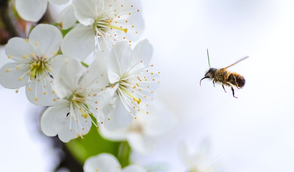 All About Bees and How to Help Them - bee flying towards blossom