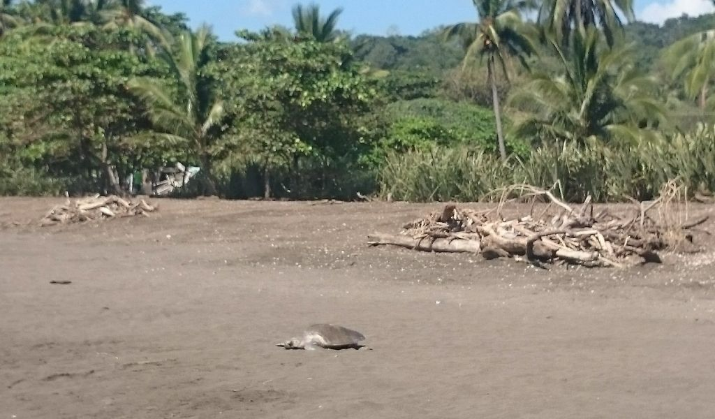 How Does Plastic Pollution Harm Turtles Adult laying eggs