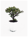 Jade Plant- Crassula Ovata Bonsai shaped in White PVC Pot