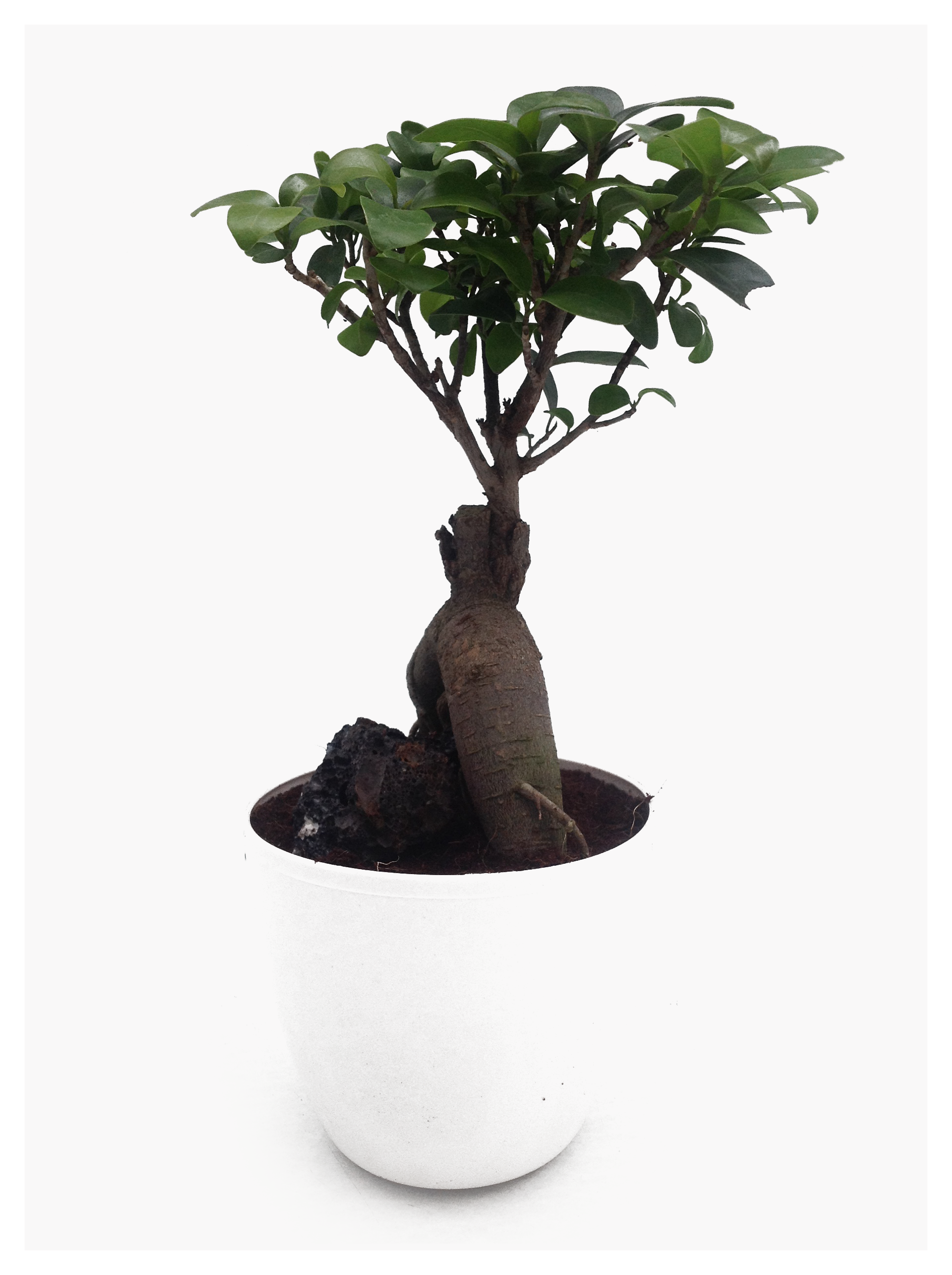 Ficus Bonsai potted in PVC