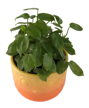 PHILODENDRON SCANDENS in Owlly ceramic pot