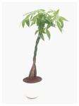 Pachira Braded - Money Tree in PVC Pot