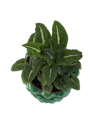 SYNGONIUM WENDI in Pineapple shaped Ceramic Pot