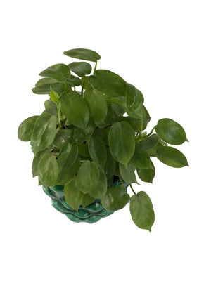 PHILODENDRON SCANDENS in Pinapple shaped Ceramic Pot
