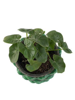 PHILODENDRON CURLY in Pineapple shaped Ceramic pot