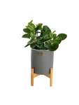 PEPROMIA GREEN in Grey Ceramic planter with Stand