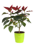 POINSETTIA RED in Planter