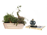 Curly Ficus Bonsai with Hut Tray