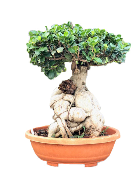 Ficus Bonsai with Root look a like an Elephant