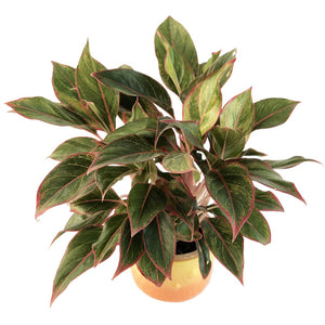 Aglaonema Red - Lipstick plant in Owlly Ceramic Pot