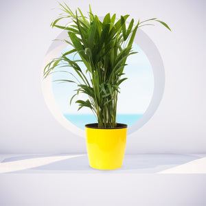 Peace Lily + Philodendron Oxycardiun Golden  + Dypsis Lutescens  (Areca Palm)