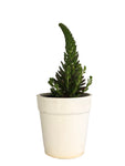 Orostrachys japonica in white ceramic pot