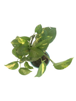 Epipremnum Aureum( Money Plant) in Ceramic Tumbler