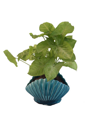 Syngonium Green in Shell Ceramic pot