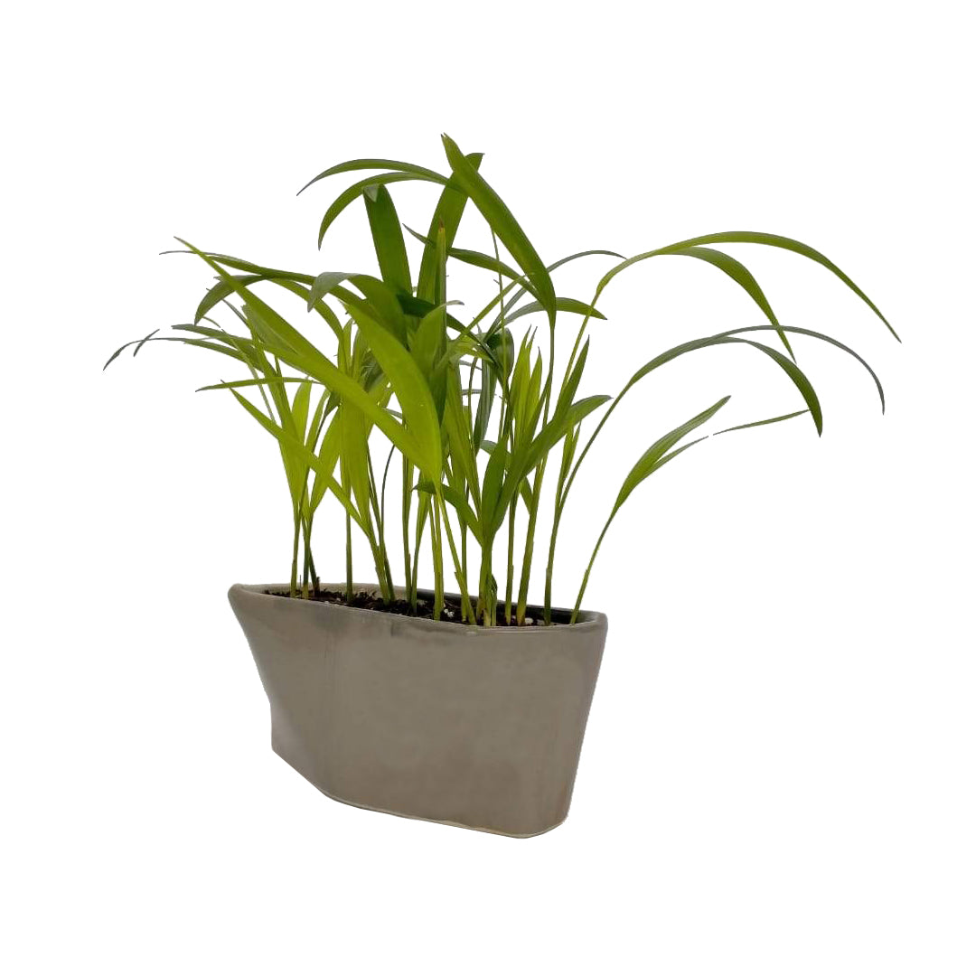 Dypsis Lutescens( Areca palm) jungle in Ceramic tray
