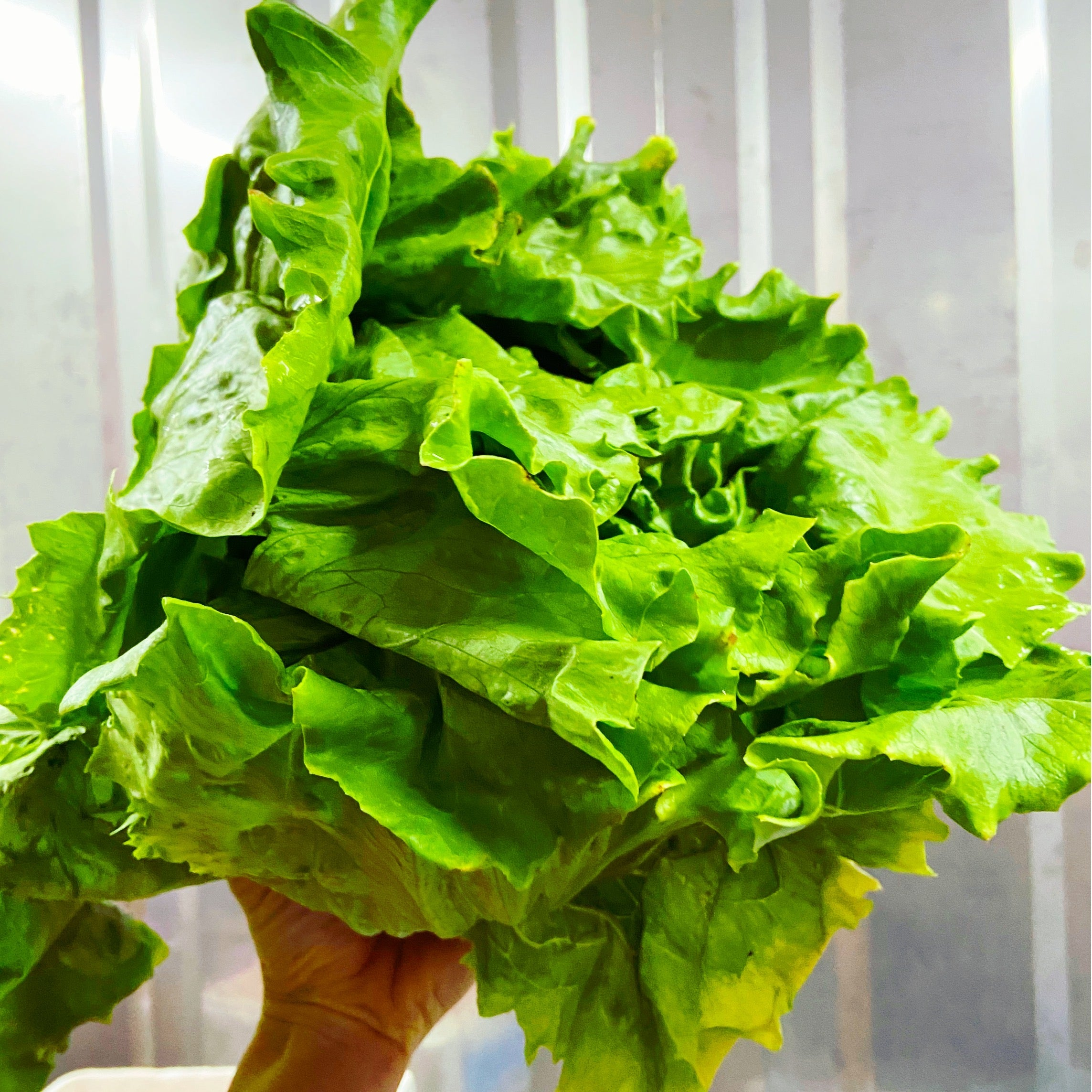Iceburg Lettuce - The Farm Shop Toowoomba