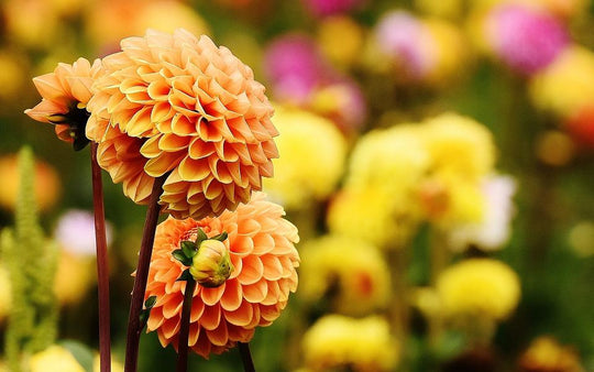 Great British Blooms: Dahlias