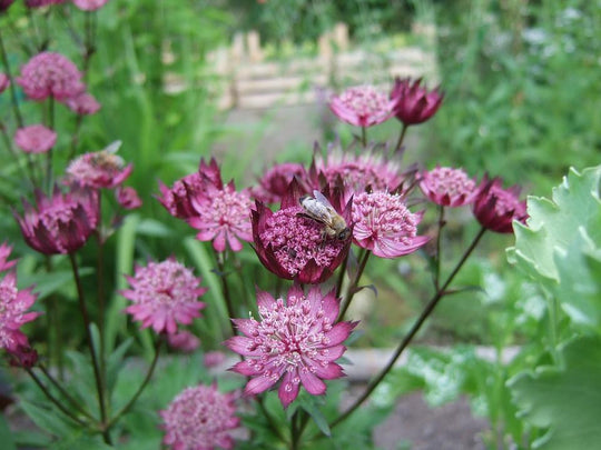 Great British Blooms: Astrantia