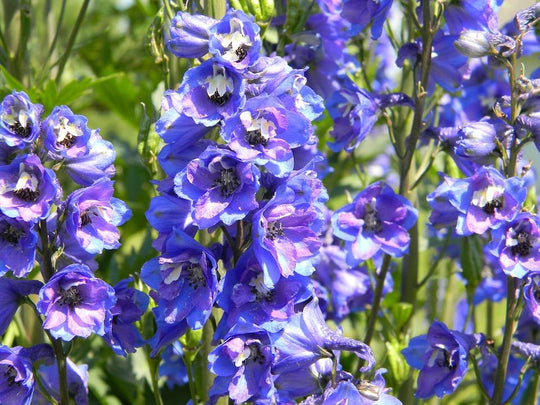 Great British Blooms: Delphiniums
