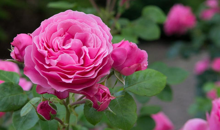 Great British Blooms: Roses