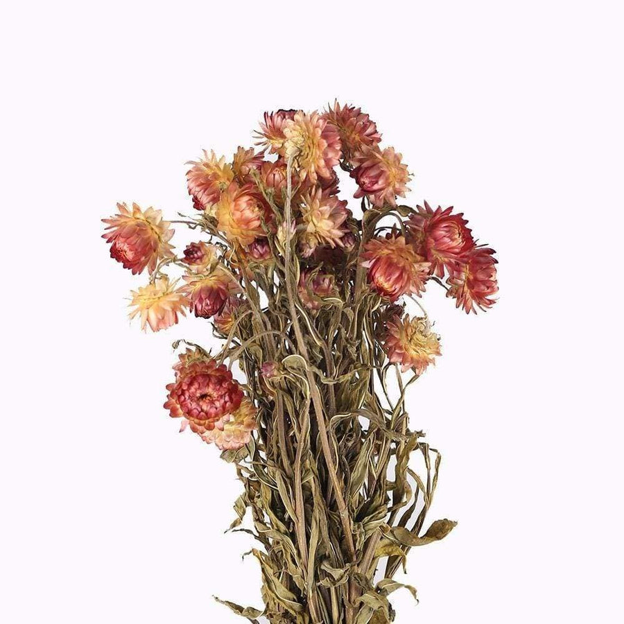 Helichrysum (Orange)