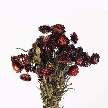 Helichrysum (Red)