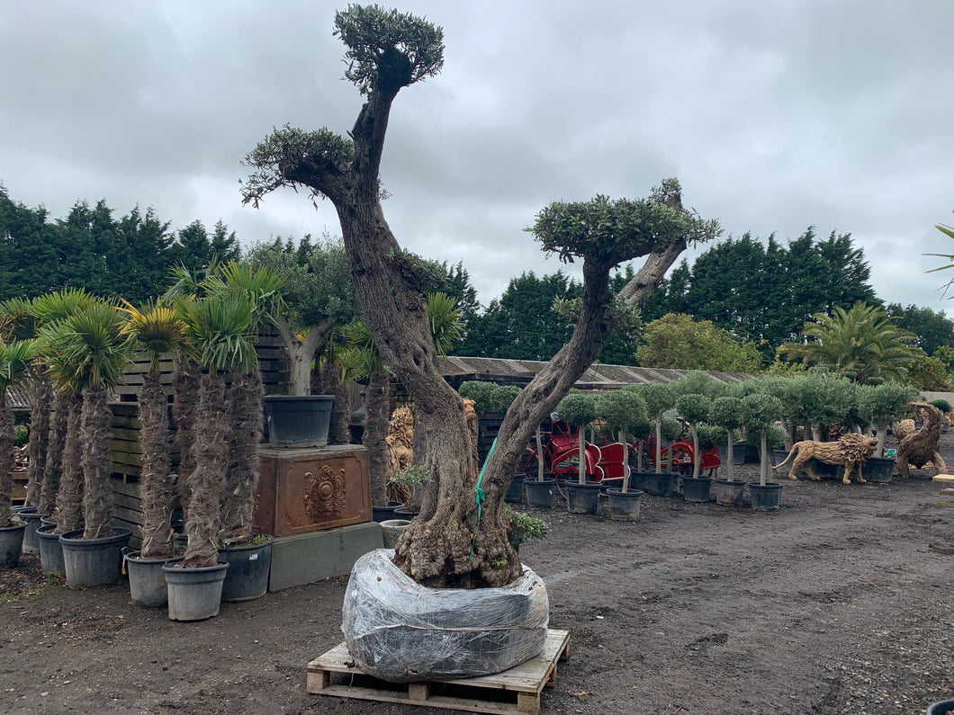 Massive 200+ Year Old Olive Bonsai Decorative Tree