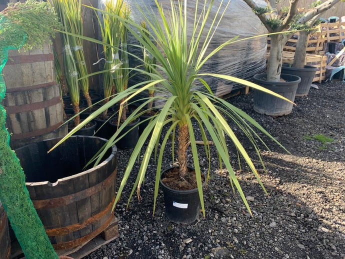 Large Potted Spikey Plant