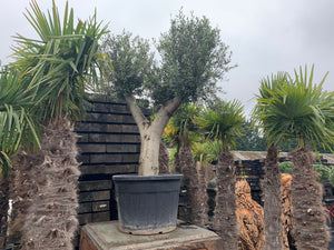 Large Potted Olive Tree