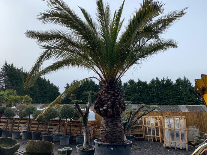 Huge Phoenix Canariensis Tree in Pot