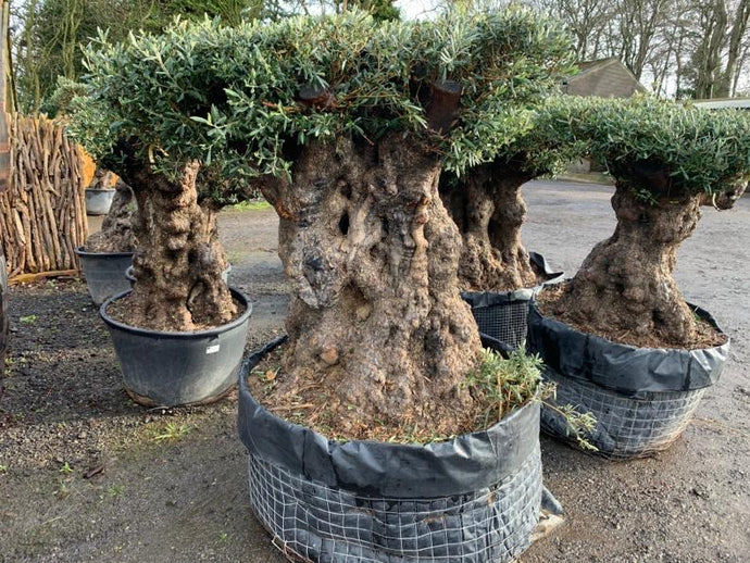Massive Bonsai Table Top Tree