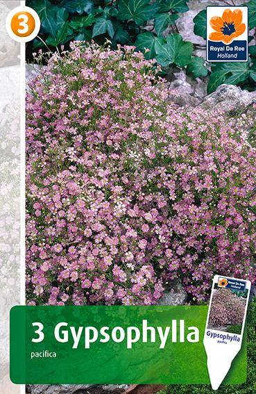 Bulbi di Gypsophila Pacifica Pink