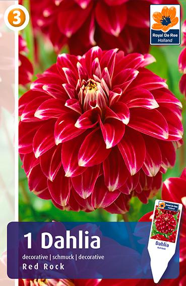 Bulbi di Dahlia Decorativa Red Rock