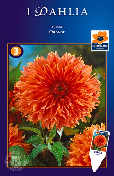 Bulbi di Dahlia Decasplit Fubuki Orange