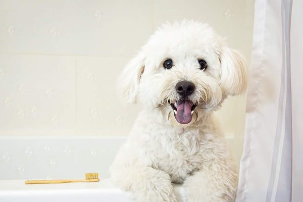 Brushing Your Dog's Teeth and Why It Is Important