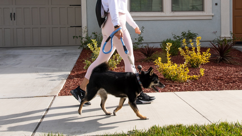 petique walking shiba inu with reflective leash with shock absorber