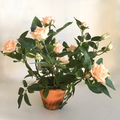 Potted Miniature Roses - Blush