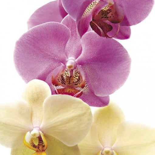 Icon Cards | Orchid Blooms Greeting Card | Putti Celebrations
