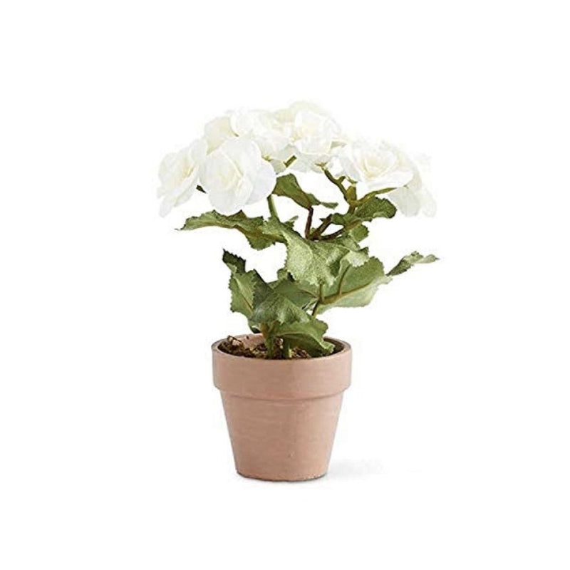 White Begonia in Terracotta Pot