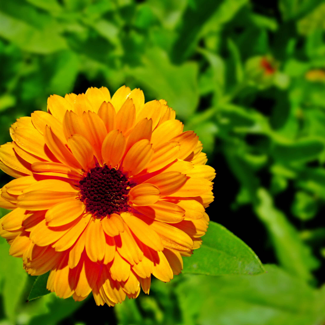 The power of Calendula
