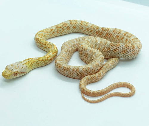 albino japanese rat snake for sale elaphe climacophora