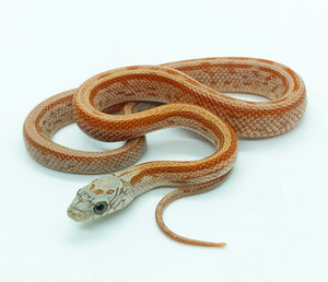 terrazzo sunkissed corn snake for sale