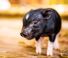 Load image into Gallery viewer, The Piglets