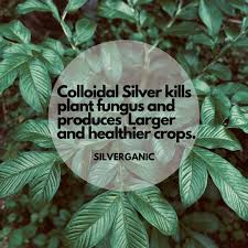 Colloidal Sliver kills plant fungus and producer larger and healthier crops