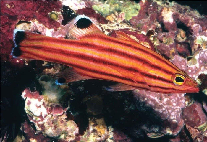 Collette's Reef Basslet (Liopropoma Collettei)