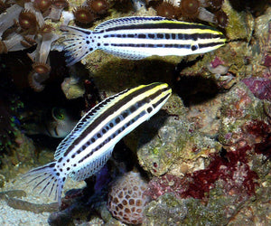 Striped Blenny (Meiacanthus Grammistes)