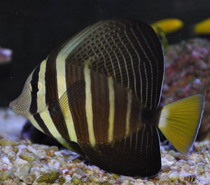 Sailfin Tang (Zebrasoma velifer) - Corals Fish and Beyond