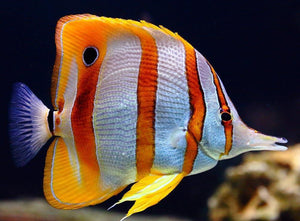 Copperband Butterfly Fish (Chelmon Rostratus) - Corals Fish and Beyond