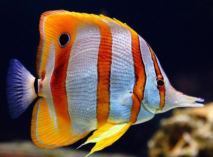 Copperband Butterfly Fish (Chelmon Rostratus)