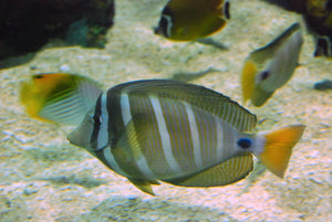 Sailfin Tang (Zebrasoma Veliferum) - Corals Fish and Beyond